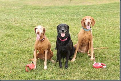 Harleyford dog golf 2