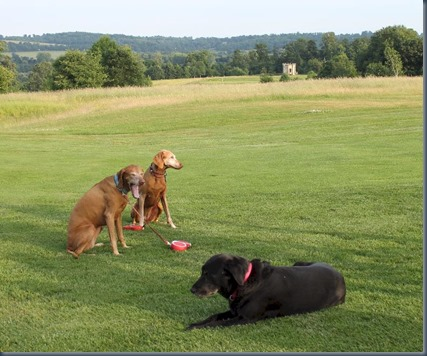 Harleyford dog golf 3