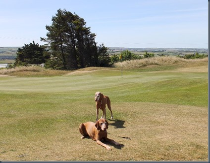 St Enodoc dog golf 2